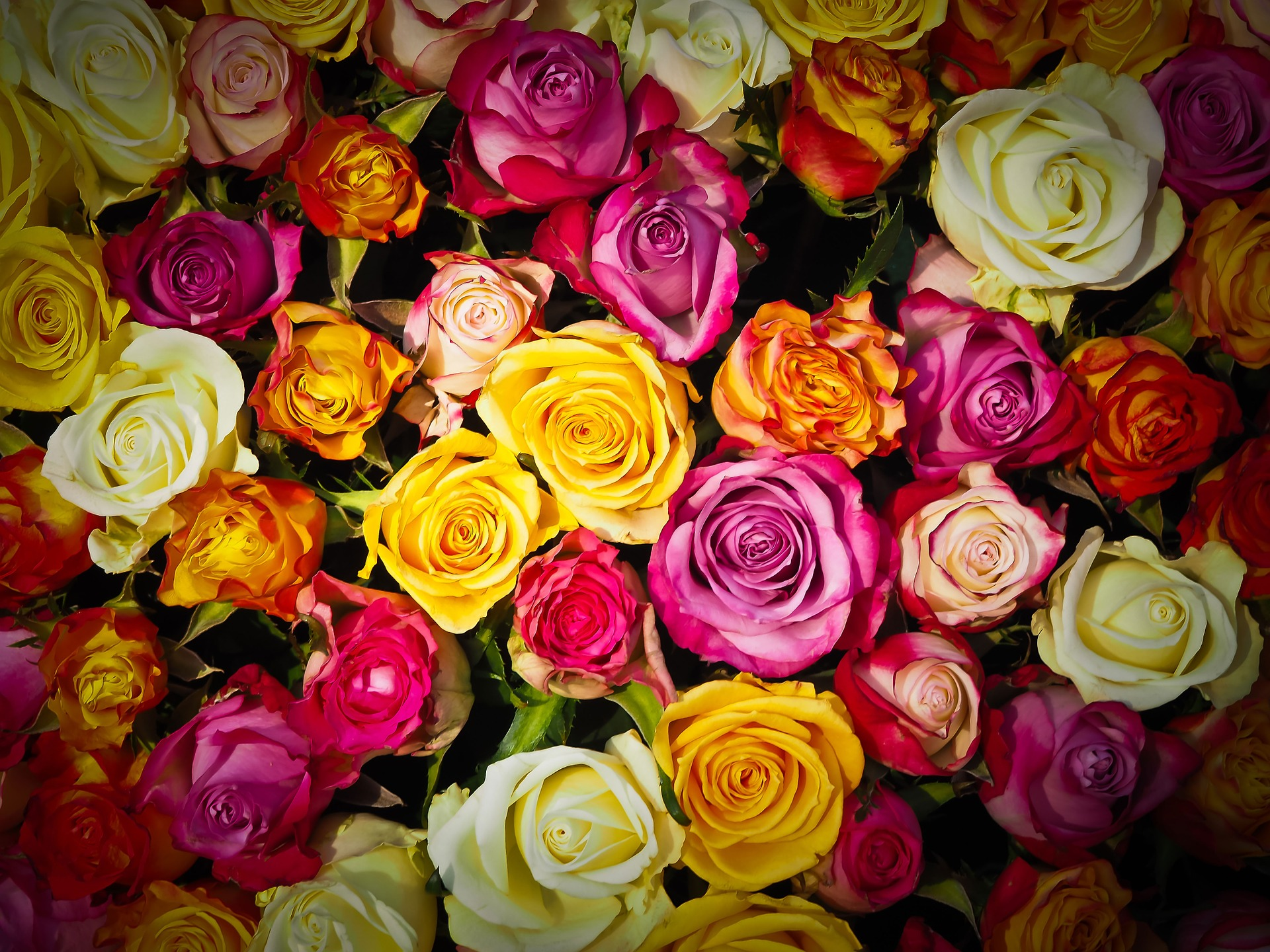 6 Facts about Roses